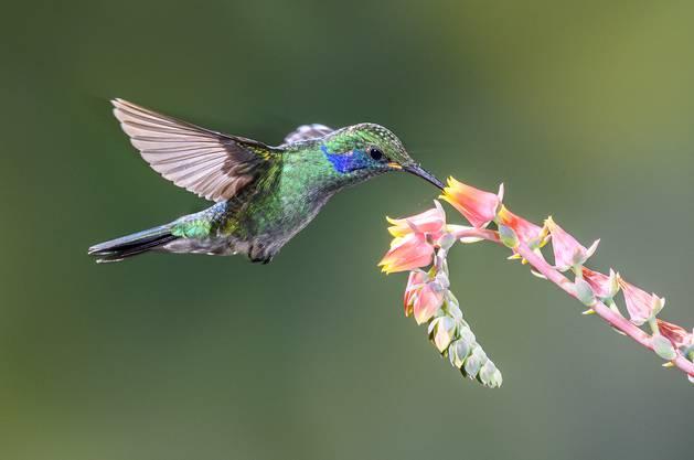 Kolibris haben ein leuchtendes Gefieder und sind hervorragende Flieger.