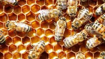 Ammenbienen legen über die Nahrung fest, ob sich eine Larve zur Königin oder Arbeiterin entwickelt. (Bild: Handout)
