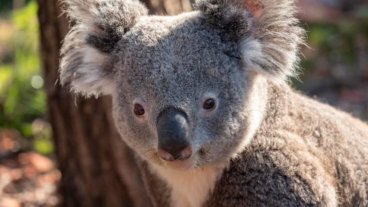 Retroviren kosteten Koala-Männchen Milo das Leben.