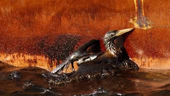 Ein mit Öl verklebter Vogel im Golf von Mexiko - Die USA lassen Bohrprojekte wieder zu (Archiv)