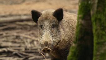 Infiziert mit der Afrikanischen Schweinpest, sterben die Wildschweine meistens innert weniger Tage. Archiv