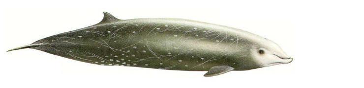 Wenig weiss man über die Cuvier Schnabelwale im Mittelmeer wie auch in anderen Ozeanen. Die meisten Informationen stammen von toten, gestrandeten Tieren. Auch im Mittelmeer hat sie dieses Schicksal bereits ereilt. Wie viele Cuvier Schnabelwale dort leben, ist unbekannt.
