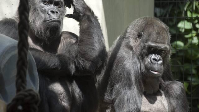 Eingeschworene Truppe: Gorillas im Basler Zolli (Archiv)