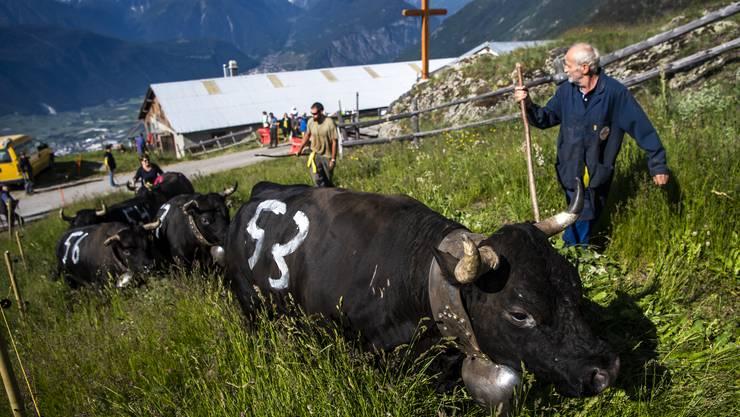 Die berühmten Kühe aus dem Val d'Hérens ...