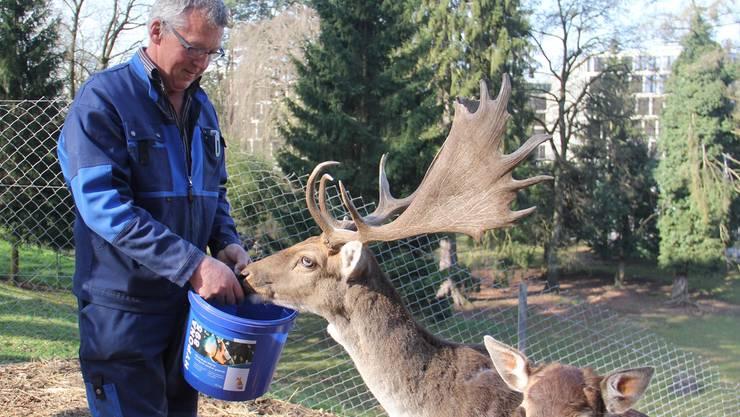Hans Huber ist seit 15 Jahren für die Hirsche der Psychiatrischen Klinik Königsfelden verantwortlich. Wenn er dem 10-jährigen Hirschen Köbeli mundgerechte Brotstückchen füttert, weicht dieser kaum mehr von Hubers Seite.