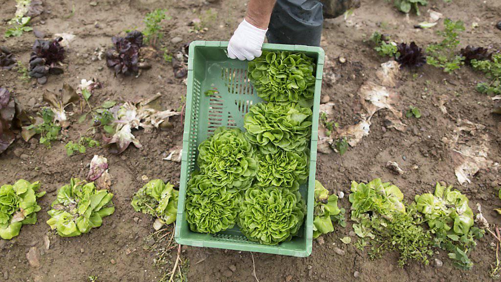 Salate haben besonders stark unter dem nassen Frühling und Frühsommer gelitten, die Ernte fiel schwach aus. (Archiv)