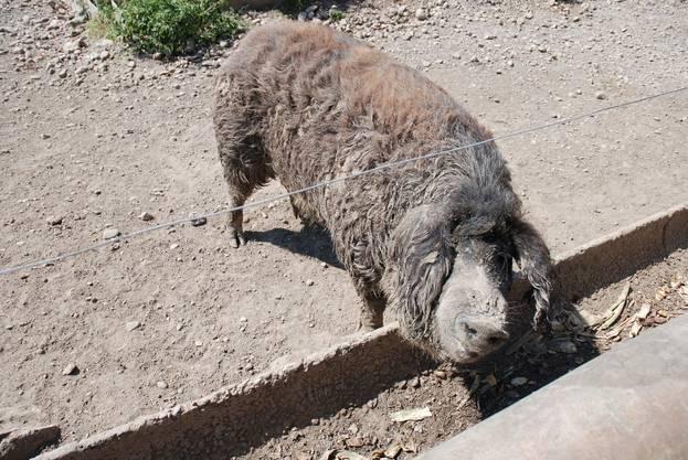 Die Wollschweine schützen sich mit einer Schlammschicht vor der Sonne