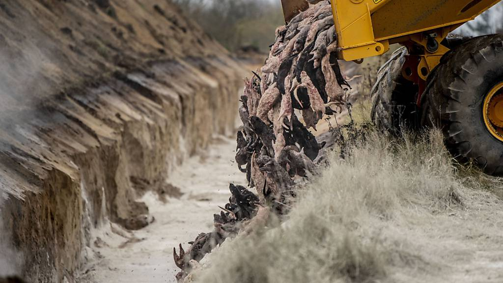 Gekeulte Nerze in Dänemark werden ausgegraben und bis Juli verbrannt