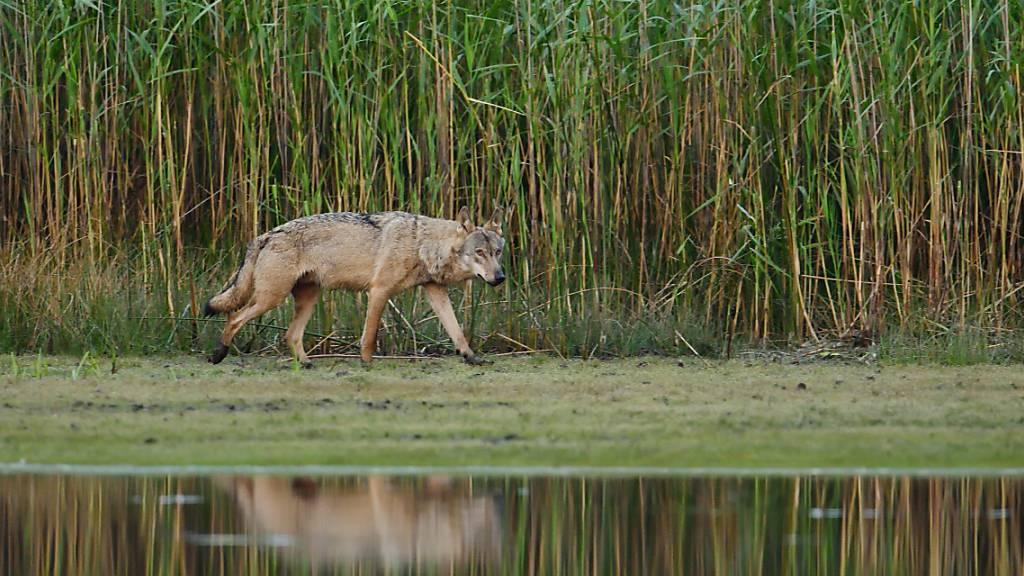 Ein erwachsener Wolf läuft am Morgen an einem Teichufer entlang. Foto: -/Torsten Beuster/dpa - ACHTUNG: Nur zur redaktionellen Verwendung und nur mit vollständiger Nennung des vorstehenden Credits