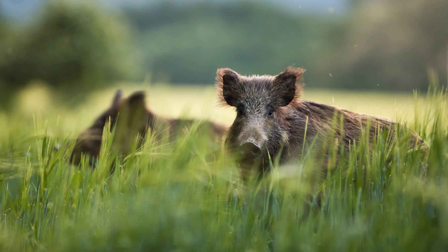 Die Wildschweine liefen über eine Autobahn in ein Wohngebiet und sorgten für viel Aufregung.