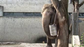 Der Zoo Zürich baut einen neuen Elefantenpark. Auf den 10'000 Quadratmetern werden die Elefanten vor allem eines vorfinden: Anstrengung.