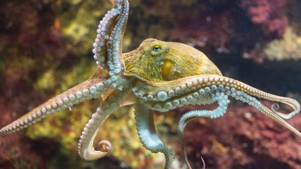 Nächsten Freitag ist Welttag des Oktopus'. Kraken sind kluge, neugierige und geschickte Tiere. Sie haben nur einmal im Leben Sex. Männchen sterben gleich danach, Weibchen, sobald die Kinder auf eigenen Tentakeln «stehen» (Symbolbild).