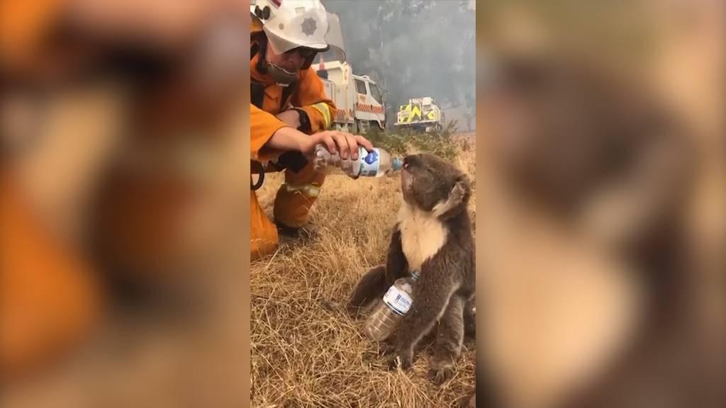 Durstiger Koala erhält Hilfe von Feuerwehrmann