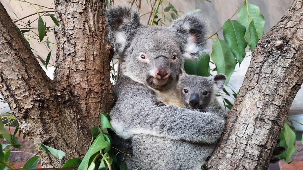 Es ist ein Junge: So heisst das Koala-Baby