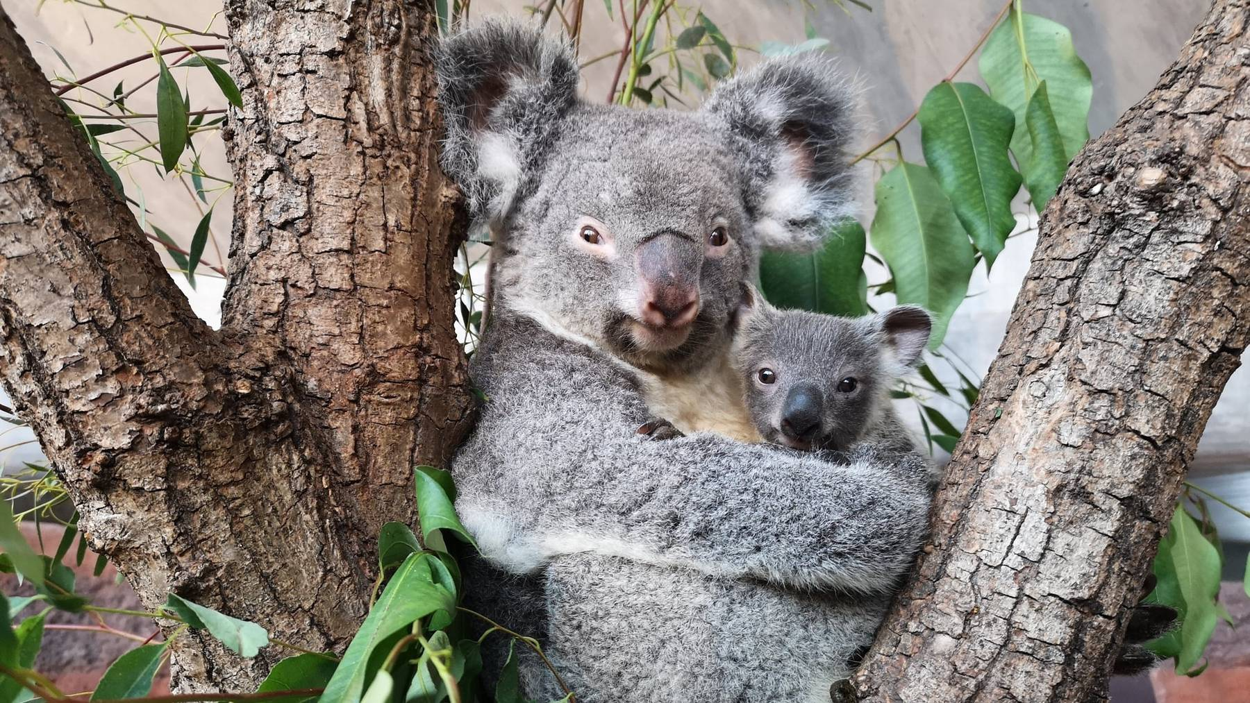 Koala Zoo Zürich