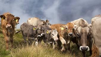 Eine Kuhherde auf der Bannalp im Kanton Nidwalden hat erneut Wanderer angegriffen. (Symbolbild)
