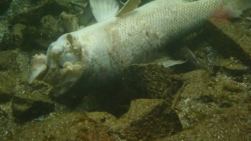 In den vergangenen Tagen sind laut dem Schweizerischen Fischerei-Verband wieder viele tote Aale im Rhein gesichtet worden. Sie werden regelmässig von Kraftwerk-Turbinen zerfetzt. Fischer und Umweltorganisationen fordern vom Bund ein rascheres Handeln.