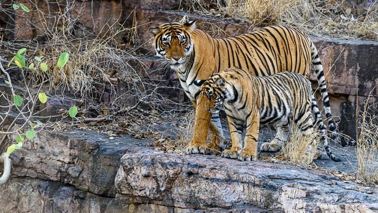 Eine Tigermutter erteilt ihren Jungen Unterricht im steilen Fels.