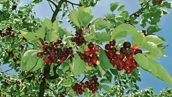 Die ersten Aargauer «Chriesi» sind fast erntereif – hier an einem Baum in Zeiningen.