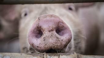 US-Forscher konnten die Gehirne von Schweinen Stunden nach deren Tod wiederbeleben.