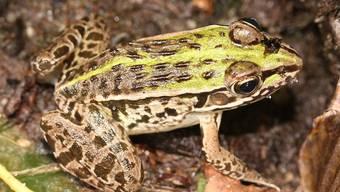 Der Frosch Pelophylax nigromaculatus kann mangels Zähnen seine Beute vor dem Verschlucken nicht töten, sondern nutzt dazu seinen Verdauungstrakt.