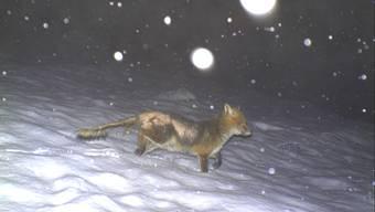 Ein von der Räude gezeichneter Fuchs, aufgenommen von einer Fotofalle im Kanton Luzern.