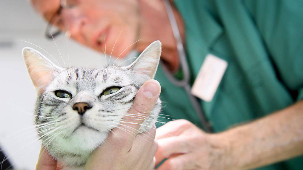Jede Katze, die nicht elektronisch identifiziert ist, soll ohne Einverständnis der Besitzer kastriert werden können. (Archivbild)