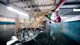 Jährlich soll die geplante Anlage 15 Tonnen Fisch produzieren. (Symbolbild)