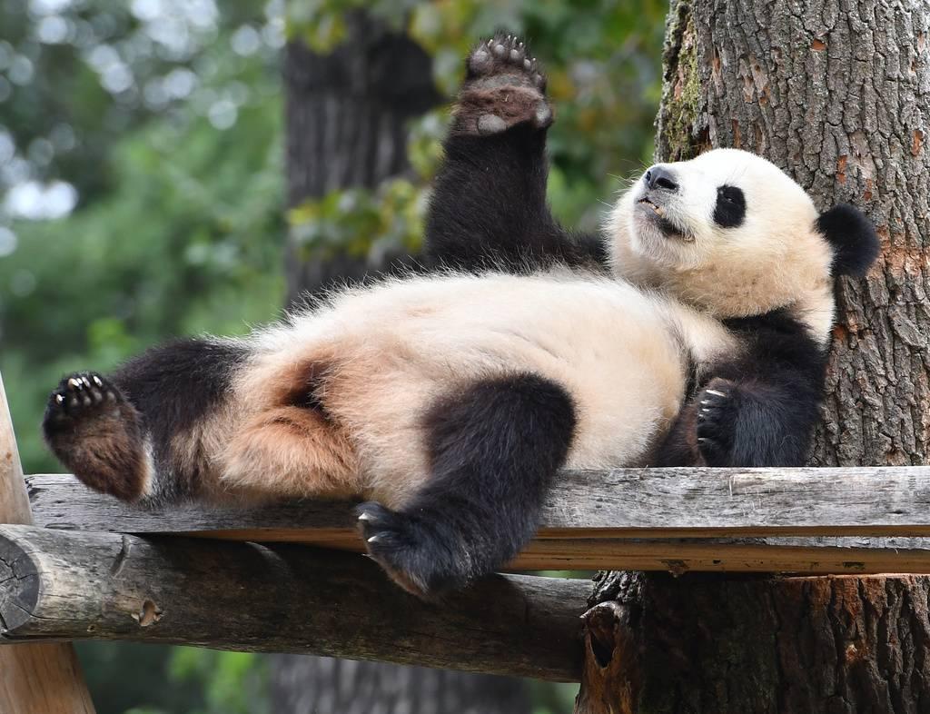 Pandabären im Berliner Zoo (© Keystone)