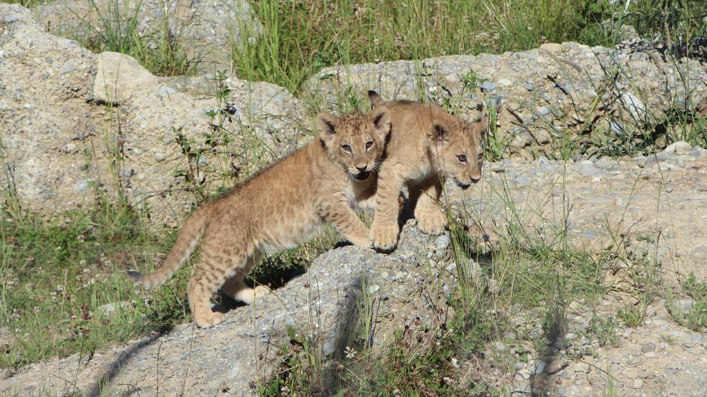 Die Löwenbabys erkunden ihr Aussengehege im Walter Zoo