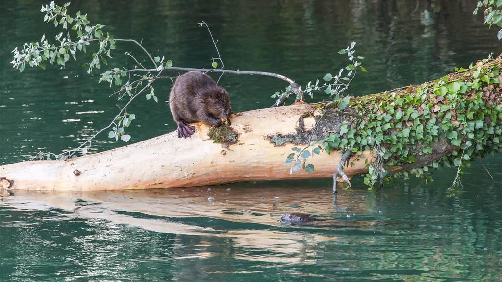 Pro Natura verteidigt Biberdamm in Merenschwand
