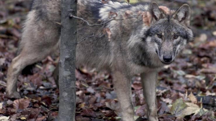 Nach dem Wolf im Val d'Anniviers VS geraten nun auch Wölfe in der Augstbord-Region im Oberwallis ins Visier der Wildhut. (Symbolbild)
