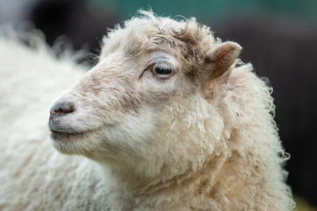 Fazit der Projektarbeit: Schafe sind ökologischer als herkömmliche Rasenmäher.