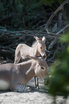Der Sohn von Yogala (11) ist am 3. Juli, wie es im Zoo häufig vorkommt, nachts geboren.