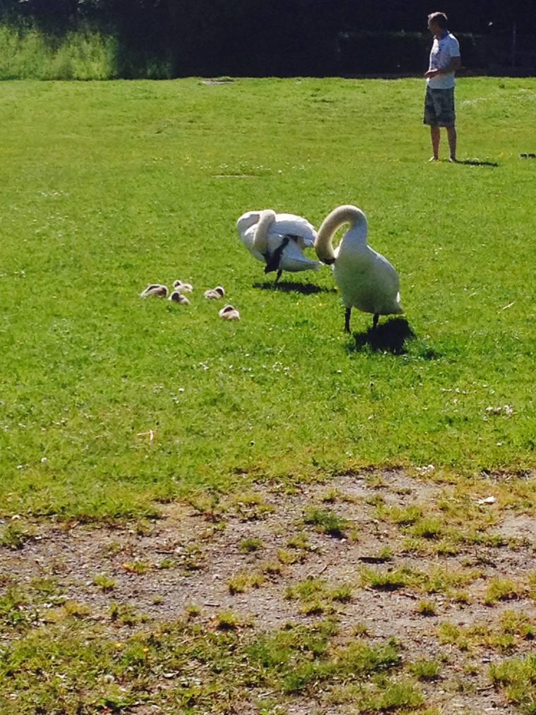 Schwäne auf Rotseewiese