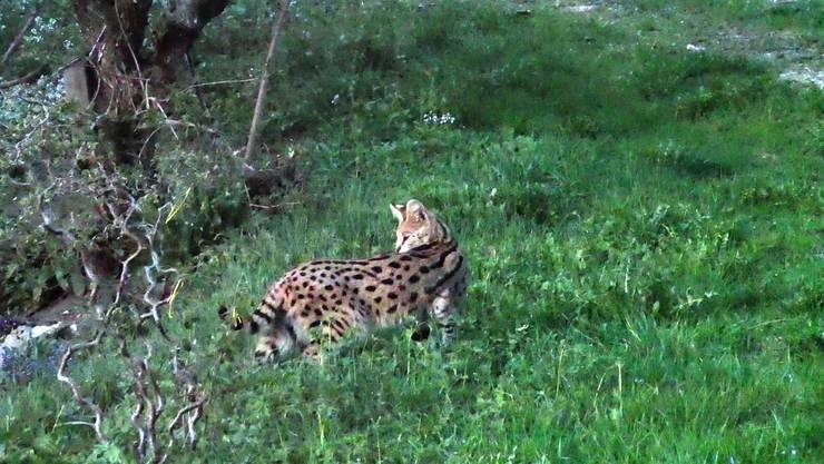 Der entlaufene Serval.