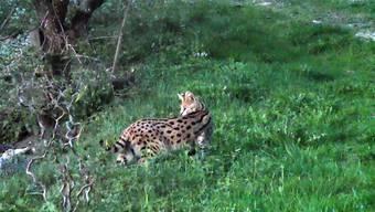 Wildkatze Serval