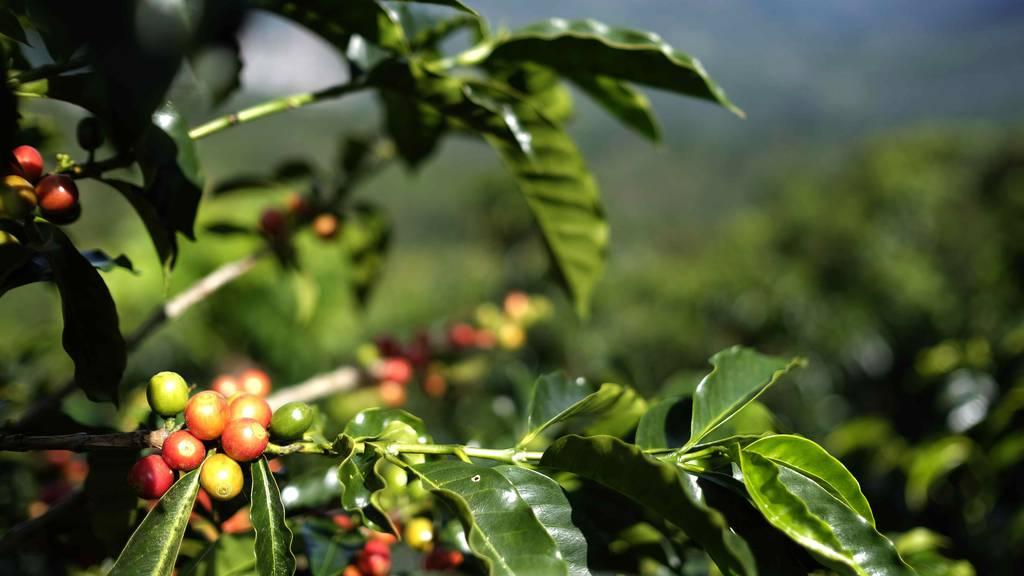 Hipster-Drink vor Zulassung: Bund beantragt die Legalisierung von Cascara