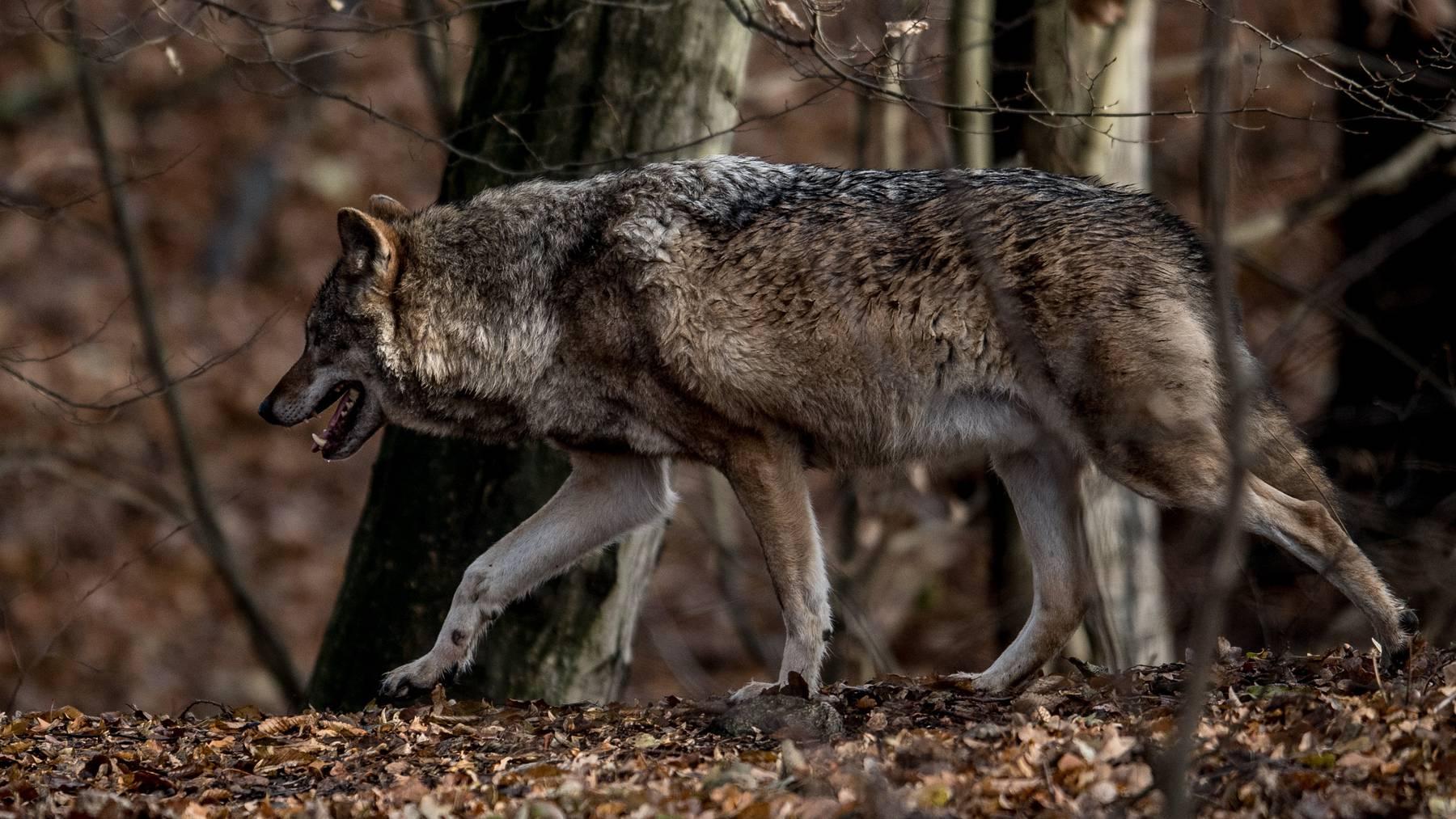 Bei Jägern, Landwirten und Schafhaltern aus den Kantonen Uri, Schwyz, Ob- und Nidwalden sowie Luzern ist der Wolf nicht gerne gesehen.