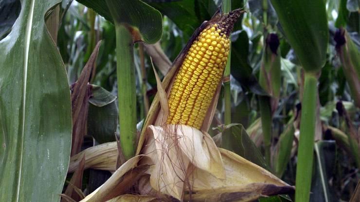 Wie verhält sich gentechnisch veränderter Mais auf freiem Feld? Das will die Universität Zürich testen. (Symbolbild)
