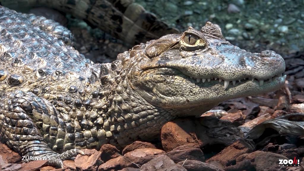 Zoo Zürich hat wieder Krokodile