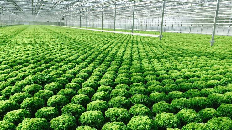 Salat aus Hydrokultur-Produktion
