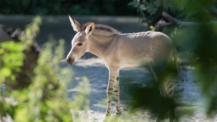 Kali heisst der jüngste Spross der Somali Wildesel-Herde im Zoo Basel.