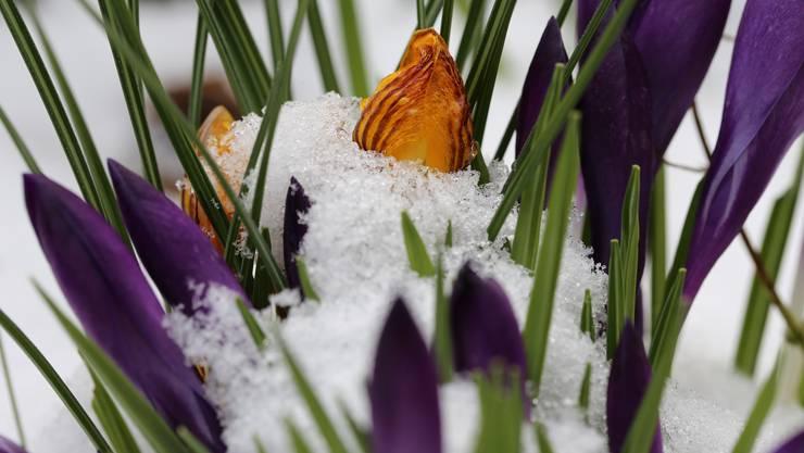 Krokusse trotzen Eiseskälte und Schnee und erinnern uns an den meteorologischen Frühlingsbeginn