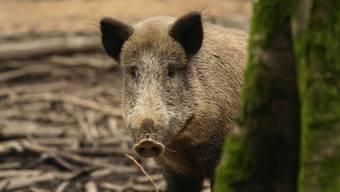Die Wildschweine suchten sich in den letzten Monaten Nahrung im Wiesland und richteten Schäden an.