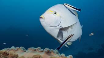 Ein Grauer Doktorfisch (Acanthurus mata) wird von Putzerfisch gereinigt am Great-Barrier-Riff in Australien.