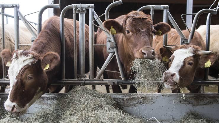 Dicke Post: Die Schweizer Durchschnittskuh wird jährlich 0,3 Zentimeter grösser. Nun sollen leichtere und gesündere Tiere gezüchtet werden.