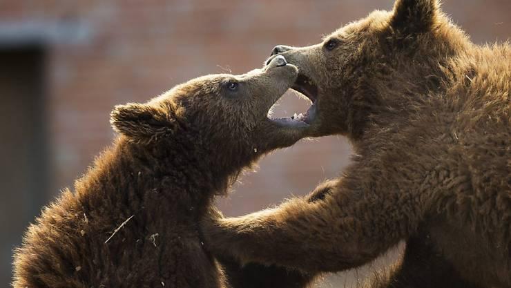 """Fünf Braunbären aus misslichen Verhältnissen sollen im Bündner Ferienort Arosa eine neue Heimat bekommen: das """"Bärenland"""" (Symbolbild)"""