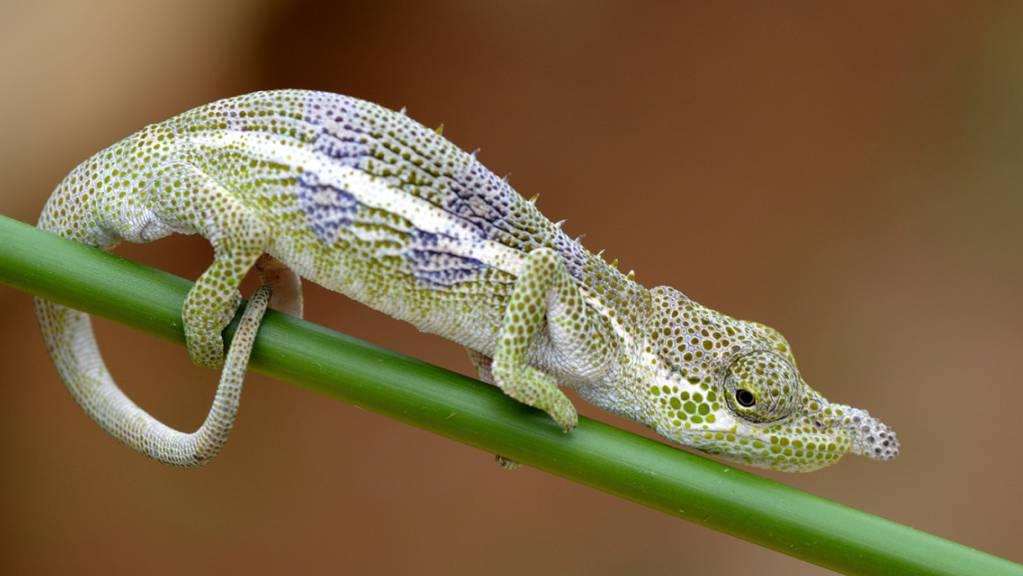 Bereits im Jahr 1933 beschrieben, aber erst jetzt als eigene Art anerkannt: Männchen der neu validierten Chamäleonart Calumma radamanus. Chamäleons können je nach Situation die Farbe wechseln. Dieses Exemplar zeigt eine entspannte Färbung. (Vohimana, Ost-Madagaskar).