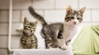 Der Nachwuchs von verwilderten Katzen wird vom Aargauischen Tierschutzverein im Tierheim untergebracht und weitervermittelt. (Symbolbild)